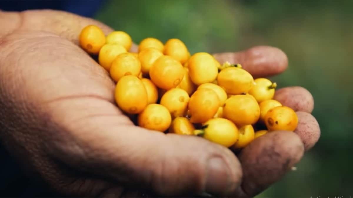 Brazilian Coffee: 3 Ways To Brew Delicious Brazilian Coffee