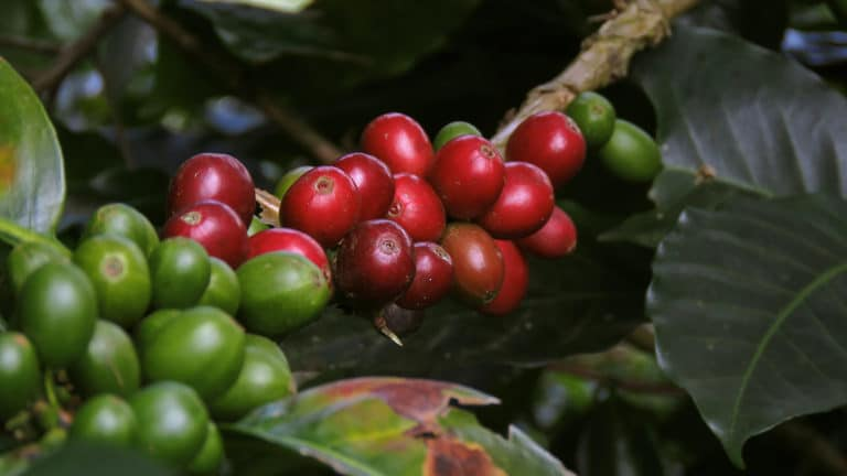 Colombian Coffee: How the Arabica combines tradition and flavor