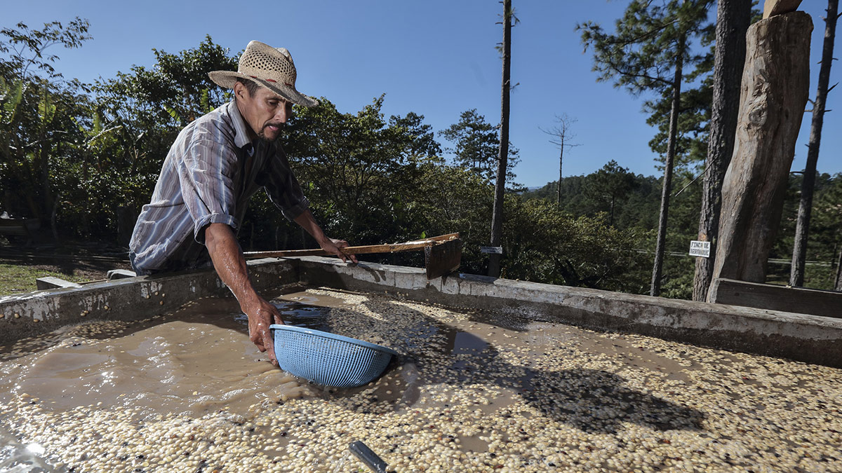The coffee beans are cleaned from the skin and dirt and finally washed