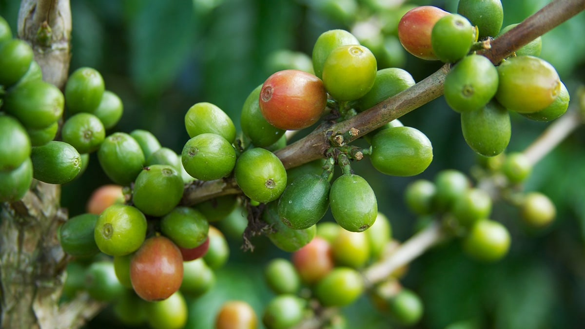 History: How coffee came to Colombia