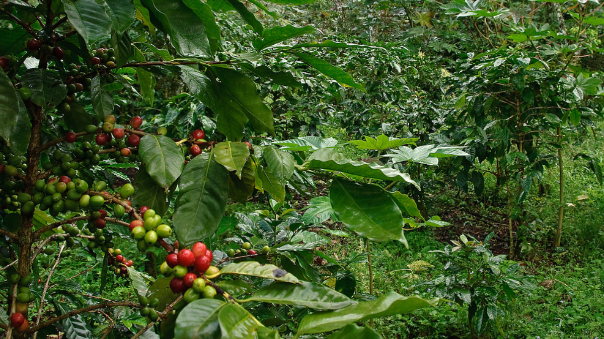 What Is Shade Grown Coffee? Is It Better Than Sun Grown?